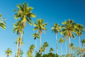 Palm trees against a clear blue sky backdrop