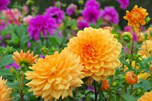 view of beautiful orange and purple dahlias