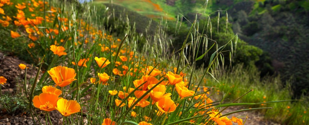 California poppies growing on a green hillside