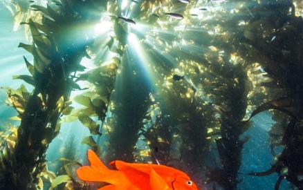Garibaldi Fish at Catalina Island, Channel Islands CA