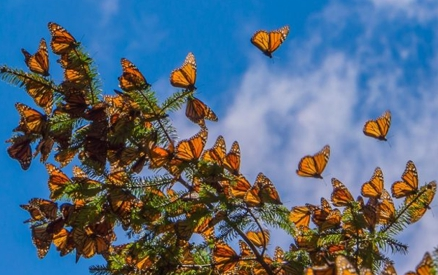 Monarch Butterflies on tree at the Coronado Butterfly Preserve