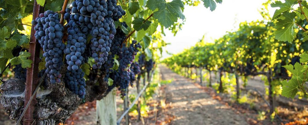 California vineyard with ripe grapes on the vine